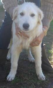 Maremma - one male little Oddball left Silverdale Wollondilly Area Preview