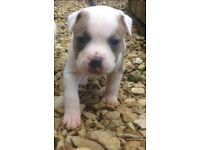 Very rare colouring female staffie - excellent breeding