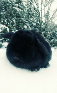 Sweet Holland Lop Bunny