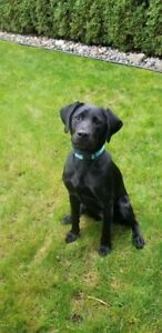 Looking for a great home for a 10 month old black labrador puppy