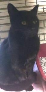 "Adult Male Cat - Domestic Short Hair: ""Shadow 17 (PN 3)"""
