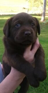 Chocolate Labrador Pups Camden Camden Area Preview