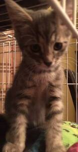 "Baby Male Cat - Domestic Short Hair: ""Aladin"""