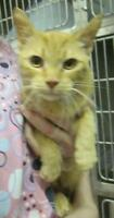 """Young Female Cat - Domestic Short Hair: """"Marmalade 15 (Lusher)"""""""