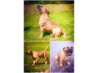 Fully registered, top scoring, boerboel puppies