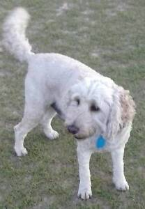 Adult Poodle Cross or Low Shedding Breed Perth Perth City Area Preview