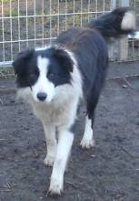 Purebred Border Collie searching for a new home Silverdale Wollondilly Area Preview