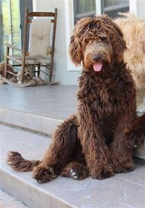 Looking for Labradoodle/Golden-doodle Dog