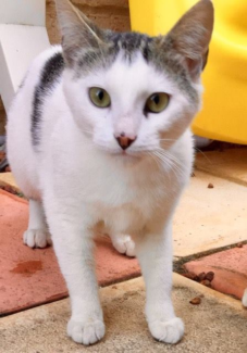 AK1884 : Rory - CAT for ADOPTION - Vet Work Included