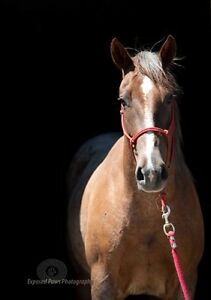 Well broke, well bred mare