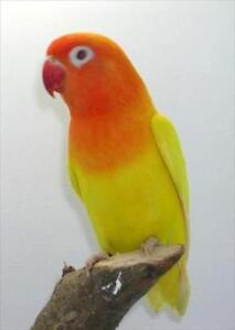 very rare color red head lutino fischer love bird for sale