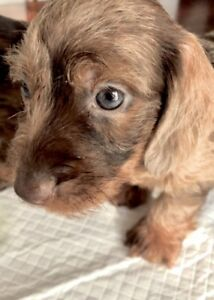 DACHSHUND PUPPIES WIRE HIRED MINI CHOCOLATE COLOUR!