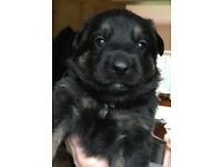 Doberman Shepherd Puppies