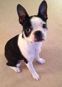 Female Boston Terrier Puppy to Rehome