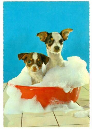 Dog Photo Oversize Postcard 2 Rat Terrier Puppies Western Germany c1980