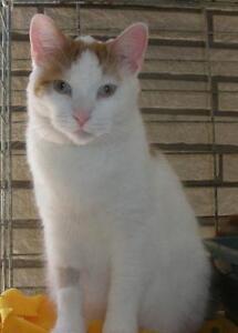 "Adult Male Cat - Domestic Short Hair: ""Jim 16 (PN 46)"""