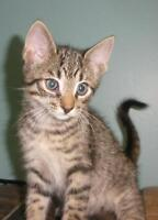 "Baby Male Cat - Domestic Short Hair: ""Mannix 15 (under a deck)"""