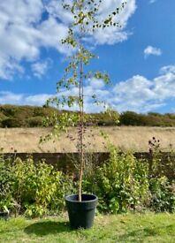 Silver birch tree (Betula pendula)