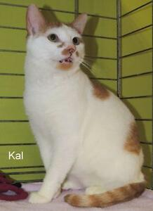 "Adult Male Cat - Domestic Short Hair: ""Kal 16 (Fingal Line)"""