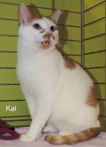 "Adult Male Cat - Domestic Short Hair: ""Kal 16 (Fingal Line)"""