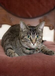 """Young Female Cat - Tabby (Brown): """"DAISY...SWEET & SMALL"""""""