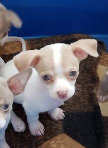 Chihuahua bébé à vendre