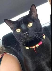 "KLAWS: LOST ""SKAR"" Bernardo/Cluxton Ave, Ptbo 1 y/o neutered"