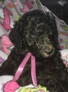 BEAUTIFUL SILVER STANDARD POODLE PUPPIES FOR SALE