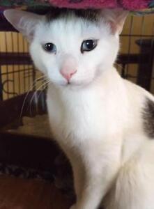 """Young Male Cat - Siamese: """"Bozo"""""""