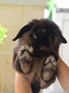 Mini Lop - female 2 years old (+ cage) Dalkeith Nedlands Area Preview