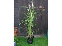 Tall ZEBRINA MISCANTHUS Zebra Grass Plant Stripey Leaves. Hardy