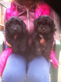 F1 Cockerpoo puppies