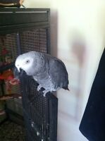 Selling my adorable African grey parrot