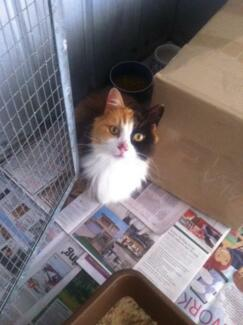 Found Tortoiseshell (Calico) Female Cat 4yrs or older Breakwater Two Rocks Wanneroo Area Preview