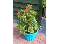 Large variegated PIERIS evegreen plant in patio pot 1M tall. KENT