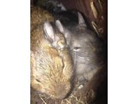 2 Degus and 6ft Cage - £80