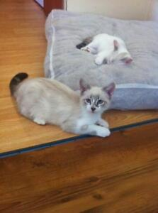 Manx Kittens (only 7 left)