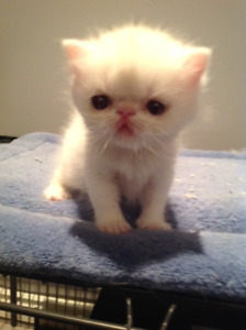 Registered Exotic Short Hair Kittens
