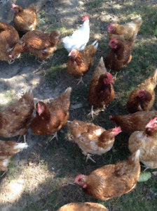 31 Laying Hens / Chickens for sale $5 each