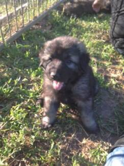 Pure Bred Sarplaninac Puppies! Absolutely Gorgeous!