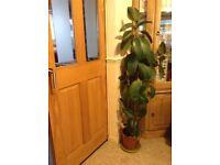 Rubber plant. £18