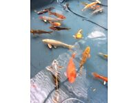 Beautiful Large and very large Japanese Koi Carp for Saleas clearing private pond