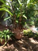 Lovely large pots with plants Holloways Beach Cairns City Preview