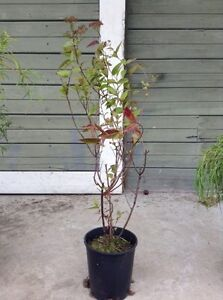 Anthony Waterer Spirea plants for Sale