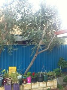 Mature Olive Tree Eden Hill Bassendean Area Preview