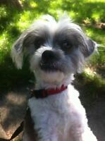 Adult Female  - Shih Tzu-Chinese Crested Dog