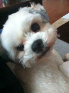 4 year old neutered male Lhasa Apso needs a home