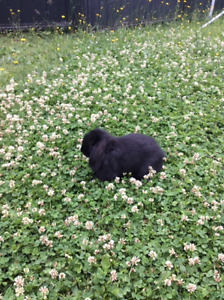 $40 Holland Lop Bunny - Comes w Lots of goodies, Needs love