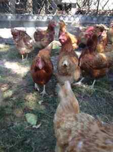 Laying Hens - 18 months old