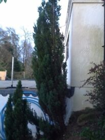 Green Mature Leylandii Tree - over 16 feet tall - Evergreen - Collect from Guildford GU1